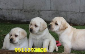 Labrador Retriever Puppies for sale in India