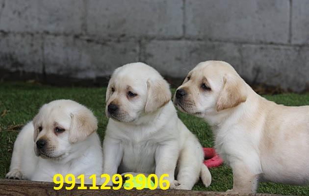 Labrador Retriever Puppies for sale in India