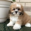 Lhasa Apso Puppies for sale in India