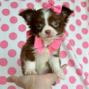 Long Hair Chihuahua puppy for sale in India
