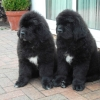 Newfoundland Puppies for sale in india