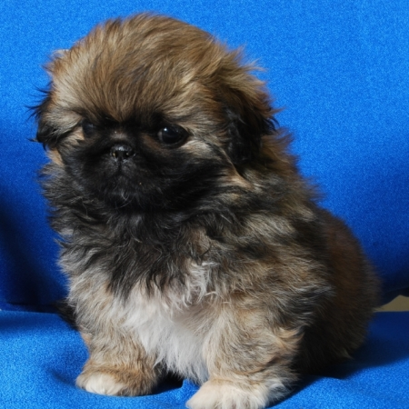 Pekingese Puppies for sale in india