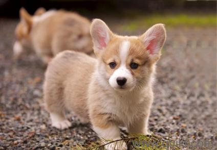 Pembroke welsh corgi puppy for sale in delhi