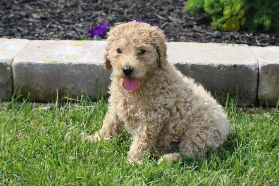 Standard Poodle Puppies for sale in india