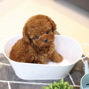 tea cup poodle puppy for sale