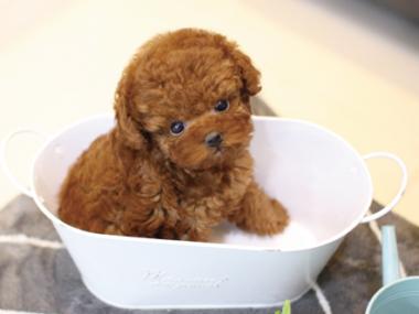 tea cup poodle puppy for sale