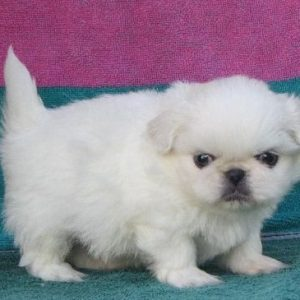 white pekingese puppy for sale in india