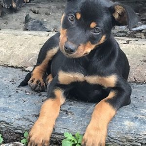 Australian Kelpie puppy for sale in India