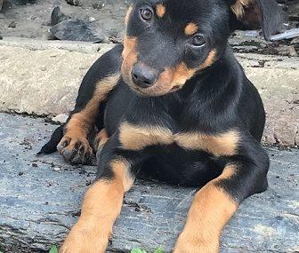 Australian Kelpie puppy for sale in India