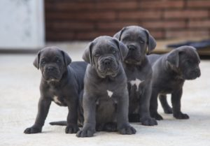 Cane Corso puppy for sale in india