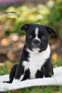 Boston Terrier puppy for sale in India