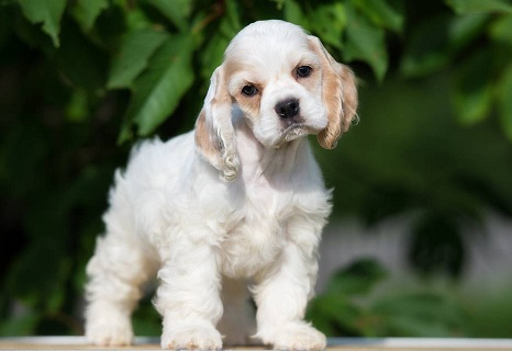 English Cocker Spaniel puppy for sale in India