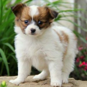Papillon (dog) Puppy for sale