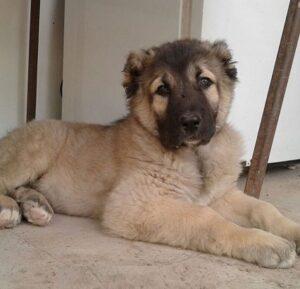 Sarabi Mastiff puppy for sale in India