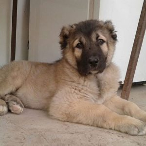 Sarabi Mastiff puppy for sale in India