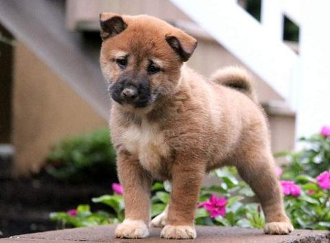 Shiba Inu puppy for sale in India