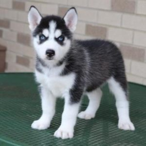 Siberian Husky puppy for sale in India