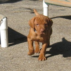 Vizsla puppy for sale