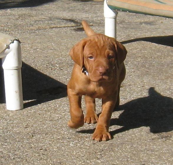 Vizsla puppy for sale