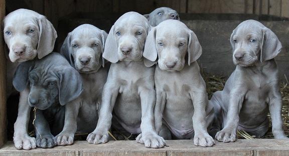 Weimaraner puppy for sale in India