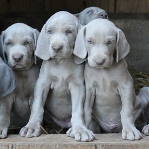 Weimaraner puppy for sale in India