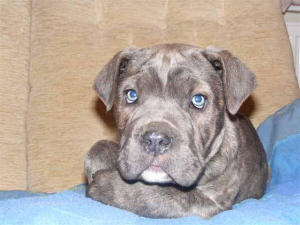 Cane Corso for sale in India