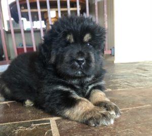 Gaddi kutta puppy for sale in India