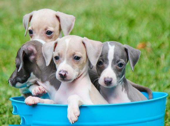 Greyhound puppy for sale