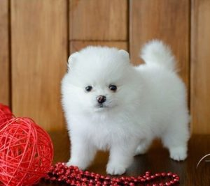 Pomeranian puppy for sale in India