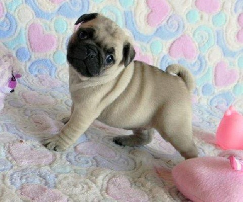 Pug puppy for sale in India