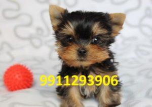 Yorkshire terrier puppy for sale in Delhi