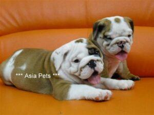 Bulldog puppy for sale in delhi