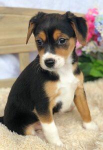 cheagle puppy for sale