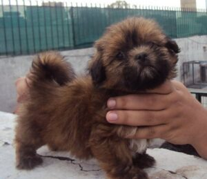 Lhasa apso puppy for sale in delhi