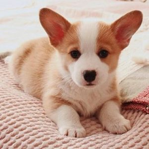 corgi puppy for sale