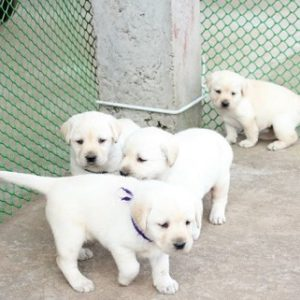 Labrador puppy for sale in west delhi