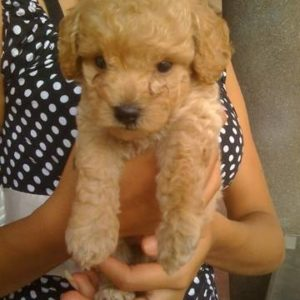 cavapoo breeder in india