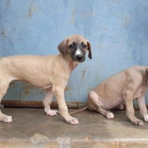Chippiparai puppy for sale