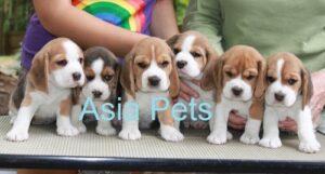 beagle puppy price in delhi