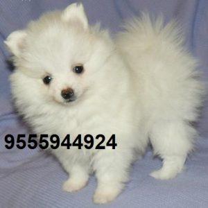 Pomeranian puppy for sale in delhi