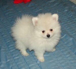 Pomeranian puppy price in delhi