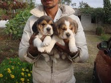 Beagle Female Puppy sale