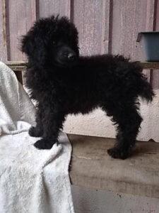Black color poodle puppy for sale in Delhi