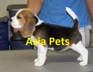 beagle breeder in delhi