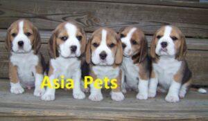beagle puppy for sale in delhi