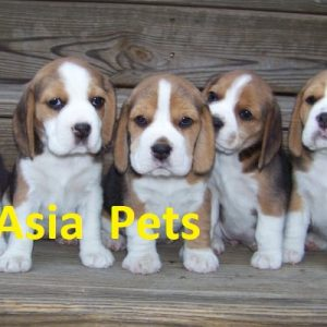 beagle puppy for sale in delhi