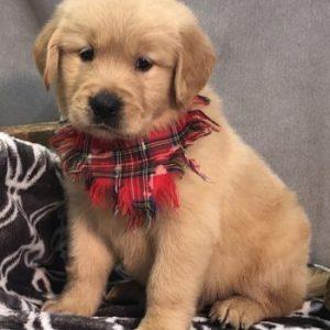 golden retriever puppy for sale in delhigolden retriever puppy for sale in delhi