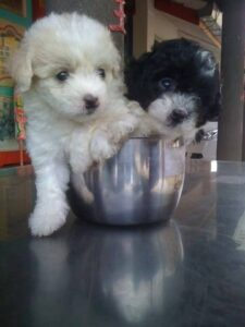 white poodle puppy for sale in delhi
