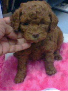chocolate color poodle puppy for sale in Delhi