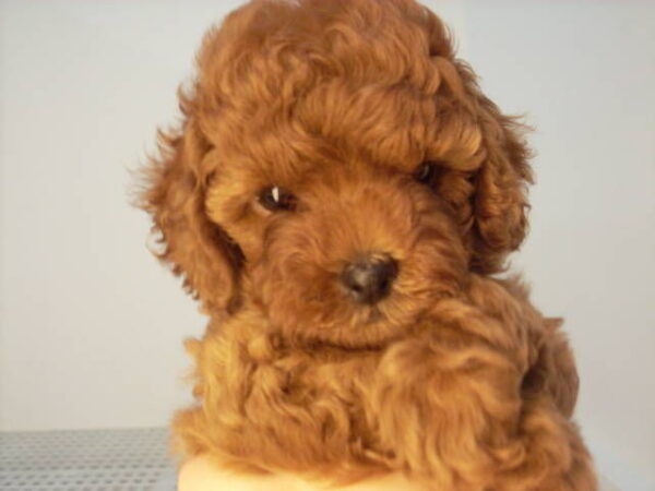 poodle puppy for sale in delhi